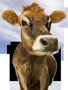 Даже корова знает, как найти свой путь в жизни. А ты? )